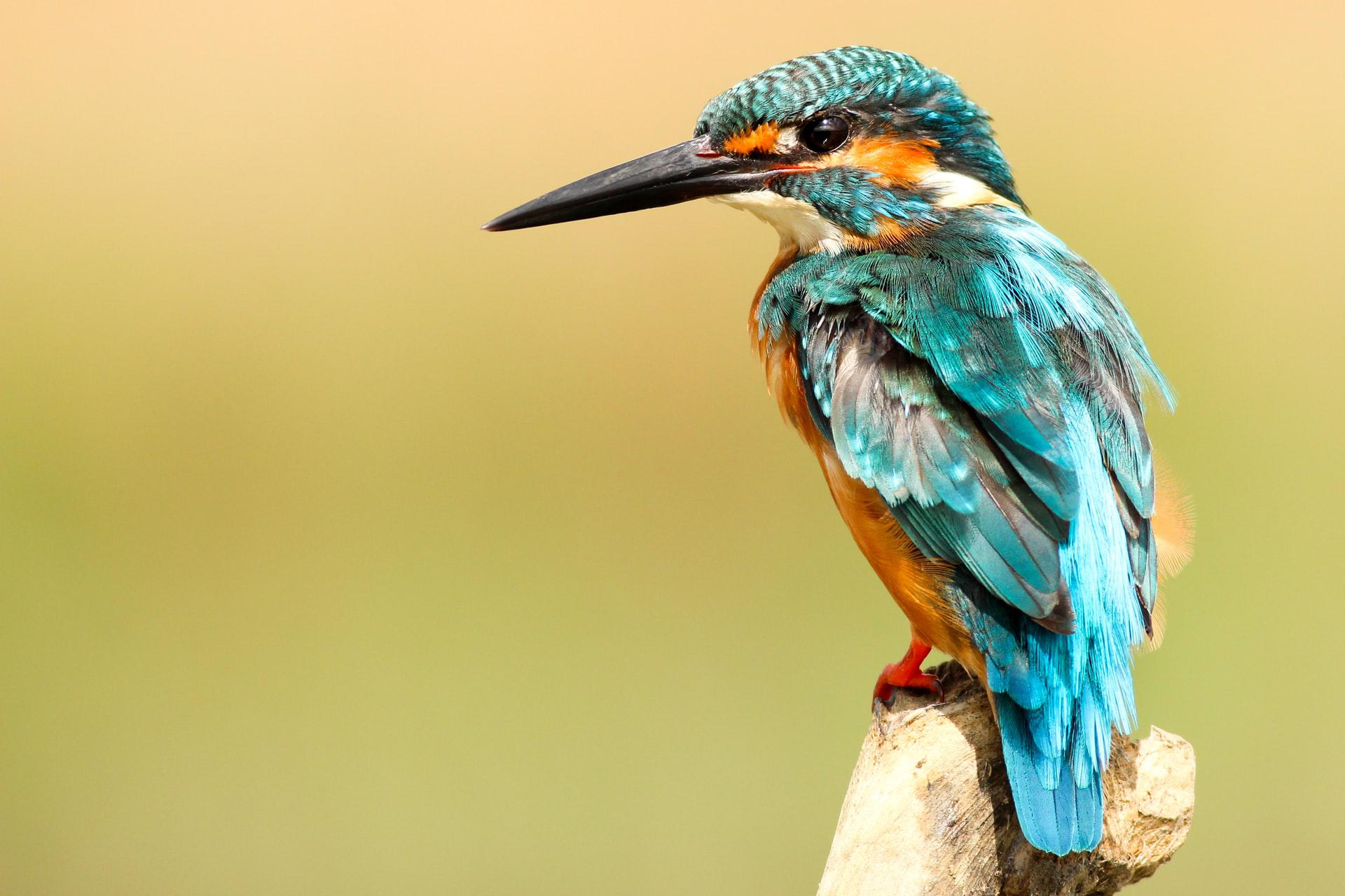 outline picture of kingfisher