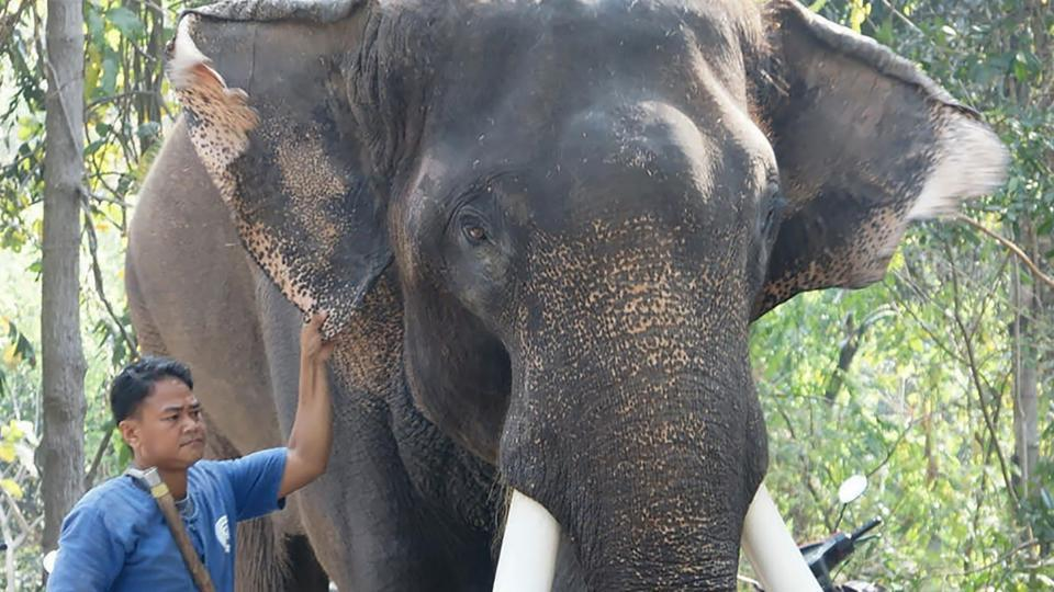 فیل معروف تایلند، صاحبش را کشت!