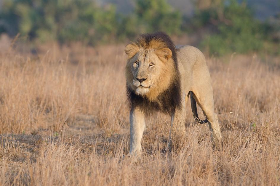 شکارچی غیرقانونی، توسط شیرهای آفریقایی بلعیده شد!