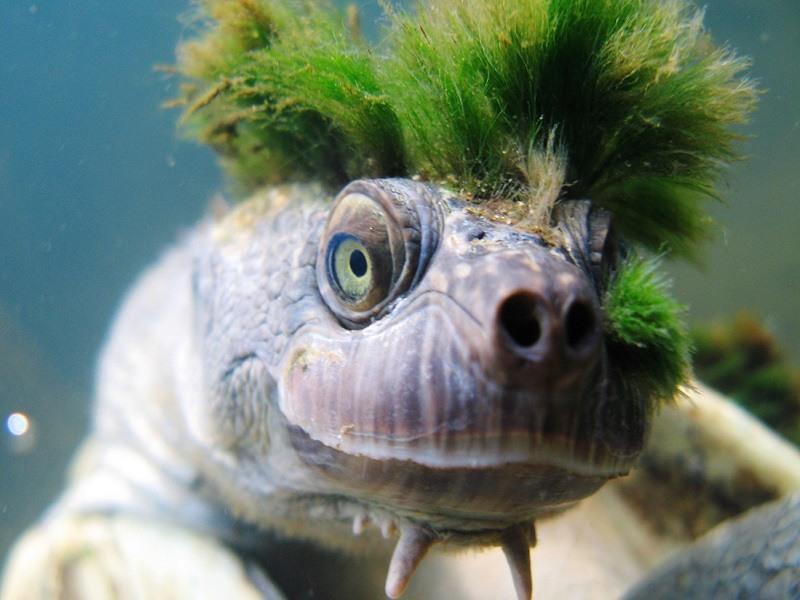حمایت دولت استرالیا از لاکپشتی که از آلت تناسلیاش نفس می کشد!