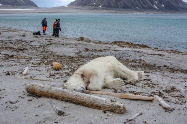 یک خرس قطبی
