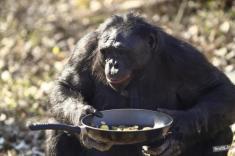 شامپانزه ها هم می توانند غذا بپزند