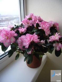 آپارتمانی شاداب و با طراوت با گل آزالیا + آموزش نگهداری
