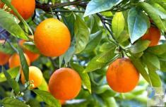 خاصیت های پرتقال / از درمان سرماخوردگی تا درمان دردهای میگرنی
