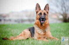 سرگذشت جالب سگ مشهور ژرمن شپرد