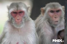 در هند رخ داد : دختری که سالها با میمون ها زندگی می کرد