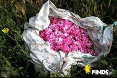 تصاویر برداشت گل محمدی در کاشان
