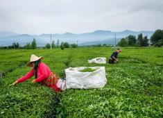 رونق صنعت چای ایران پس از سالها!