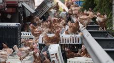 هزاران مرغ، بزرگراهی در اتریش را مسدود کردند
