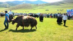 تصاویر فستیوال گاوهای موبلند یاک (Yak) در مغولستان را تماشا کنید
