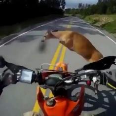 لحظه برخورد آهو با راننده موتورسیکلت را ببینید