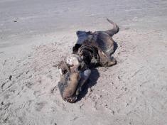 پیدا شدن موجودی عجیب و مرموز در ساحل ولز!