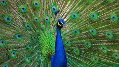 ایجاد ترافیکی سنگین در پی ورود چند طاووس به بزرگراه